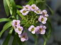 Lobularia Stream Lilac kwiat