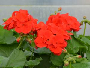 Pelargonia rabatowa Green Idols True Red czerwona