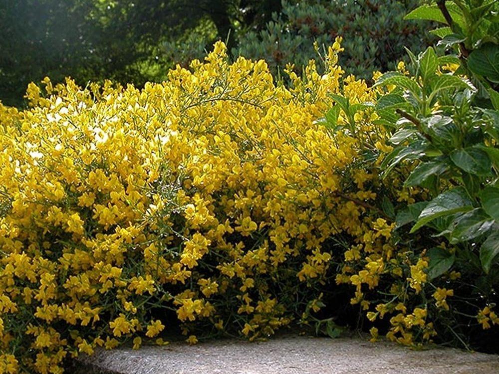 Janowiec Lidyjski Zolte Kwiaty P9 Plozacy Krzew Zielonym Do Gory Sklep Internetowy